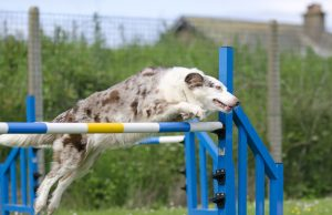 A border collie jumping